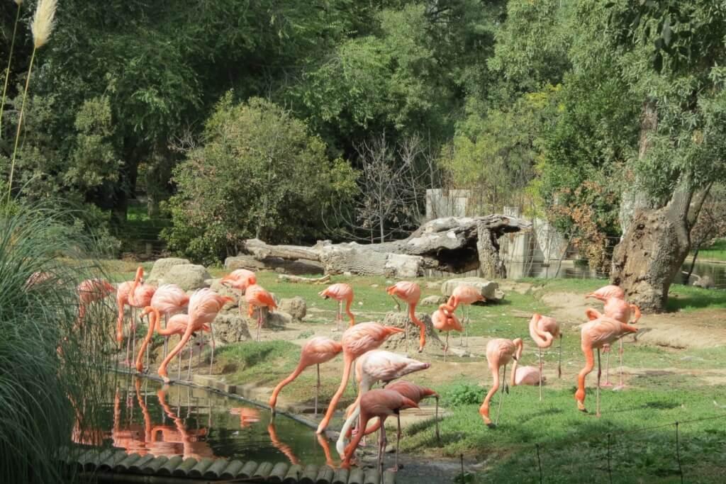 Flamingos no Zoo de Madrid